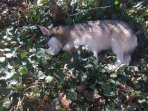 Husky napping Stock Photo