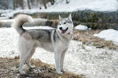 Husky near water Royalty Free Stock Images