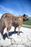 Husky nel lago Fotografia Stock