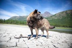 Husky nel lago Fotografia Stock Libera da Diritti