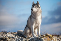 Husky nel mountains6 Fotografie Stock Libere da Diritti