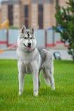 Husky nella grande città Immagini Stock Libere da Diritti