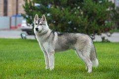Husky nella grande città Immagini Stock