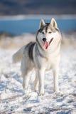 Husky nella neve Immagine Stock Libera da Diritti