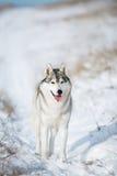 Husky nella neve Fotografie Stock