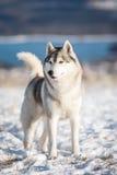 Husky nella neve Fotografia Stock