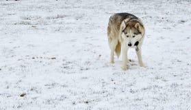 husky śnieg Zdjęcie Stock