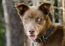 Husky One Blue Eye. Animal Shelter Adoption Outdoor Portrait stock images