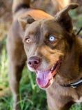 Husky One Blue Eye. Animal Shelter Adoption Outdoor Portrait royalty free stock photo
