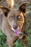 Husky One Blue Eye. Animal Shelter Adoption Outdoor Portrait stock photo