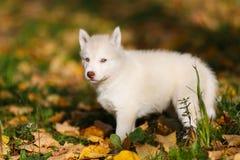 Husky opuppy Zdjęcia Royalty Free