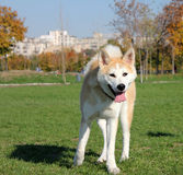 Husky in the park. Husky dog walking in the park Royalty Free Stock Photography