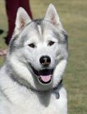 Husky at the park Stock Photo
