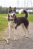 Husky in the park Royalty Free Stock Photo