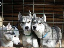 Husky peeking out from behind the iron bars of the fence clinging to each other stock image