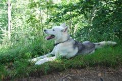 Husky per una passeggiata nelle montagne Fotografie Stock