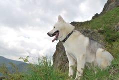 Husky per una passeggiata nelle montagne di estate Fotografia Stock