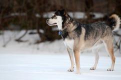 Husky pies Zdjęcie Royalty Free