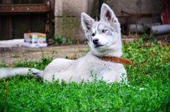 Husky pies Zdjęcie Stock