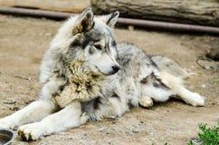 Husky pies Obrazy Royalty Free
