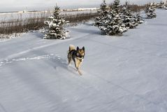 Husky pies biega przez śniegu po miecielicy Syberyjski husky w śniegu dryfie zdjęcia stock