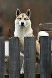 Husky pies na łańcuchu Obrazy Royalty Free