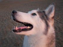 Husky pies na plaży Fotografia Stock