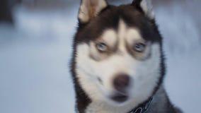 Husky pies na spacerze Husky patrzeje up strona, then Pies szczeka i trząść zbiory