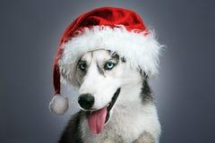Husky pies w czerwonym Santa kapeluszu Obraz Royalty Free