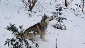 Husky pies w zimie zbiory wideo