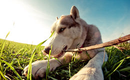 Husky play. Husky fun playing with a stick Royalty Free Stock Images