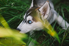 Husky. Playing in green grass Royalty Free Stock Photos
