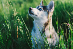 Husky. Playing in green grass Stock Photo