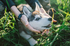 Husky. Playing in green grass Royalty Free Stock Image