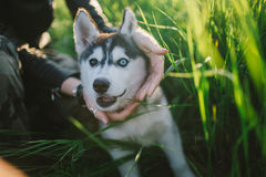 Husky. Playing in green grass Royalty Free Stock Photo