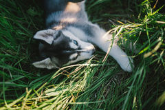 Husky. Playing in green grass Royalty Free Stock Images