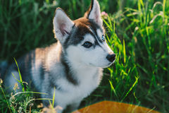 Husky. Playing in green grass Royalty Free Stock Photography