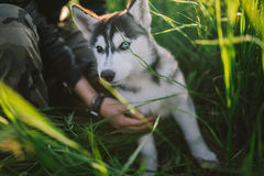 Husky. Playing in green grass Stock Images