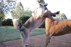 Husky Playing In Motion lindo foto de archivo libre de regalías