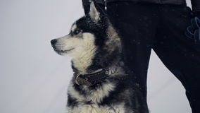 Husky playing in the snow stock footage