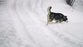 Husky playing in the snow stock video footage