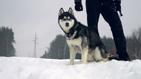 Husky playing in the snow stock video