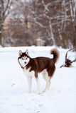 Husky playing in the snow Royalty Free Stock Images