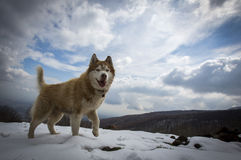A Husky is playing in the snow in the mountain Royalty Free Stock Image