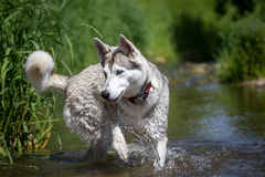 Husky playing in the water Royalty Free Stock Image