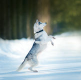 Husky plays outdoor Royalty Free Stock Images