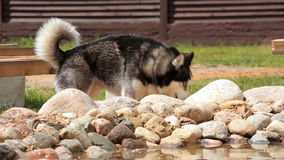Husky by the pool at the backyard stock footage