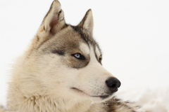 Husky portrait. In the french Alps stock image