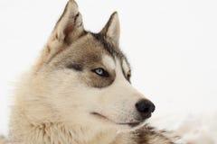 Husky portrait Stock Image