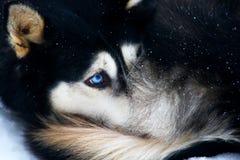 Husky portrait Royalty Free Stock Photos